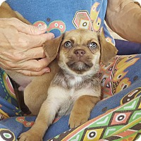 Adopt A Pet :: Venus - Austin, TX