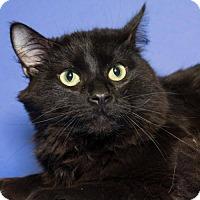 Adopt A Pet :: Bogey - Bridgeton, MO