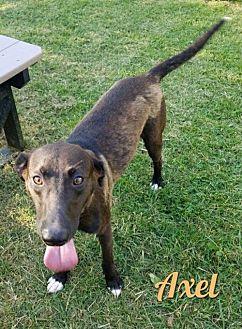 Greyhound/Labrador Retriever Mix Dog for adoption in Harrisville, West Virginia - Axel