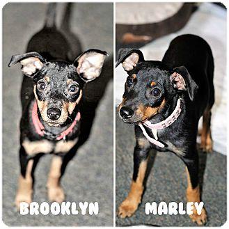 Miniature Pinscher Mix Puppy for adoption in Tavares, Florida - Brooklyn & Marley
