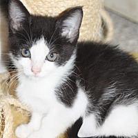 Adopt A Pet :: WILLOW  (Kitten) - New Bern, NC