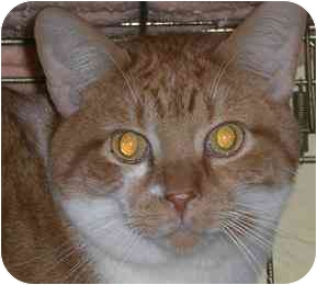 Domestic Shorthair Cat for adoption in Lombard, Illinois - Frankie