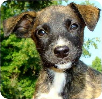 Labrador Retriever/Whippet Mix Puppy for adoption in Pawling, New York - ANGEL