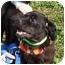 Photo 2 - Pembroke Welsh Corgi/Cocker Spaniel Mix Dog for adoption in Somerset, Pennsylvania - Hank