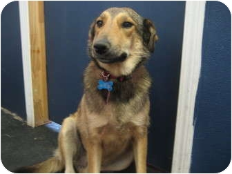Sheltie, Shetland Sheepdog/Collie Mix Dog for adoption in Plano, Texas - Ella