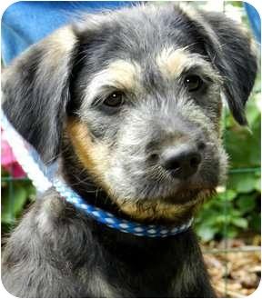 Schnauzer (Standard)/Labrador Retriever Mix Puppy for adoption in Wakefield, Rhode Island - CLOUDY