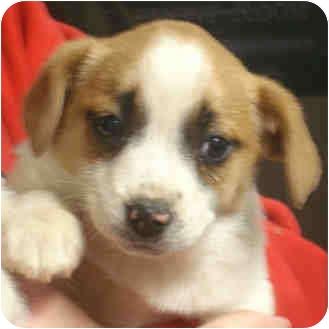 Jack Russell Terrier Mix Puppy for adoption in Manassas, Virginia - Eddie