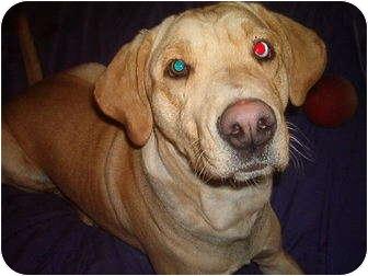 Labrador Retriever Mix Dog for adoption in North Jackson, Ohio - Chance