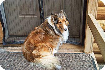 Sheltie, Shetland Sheepdog Dog for adoption in Alderson, West Virginia - Rafael