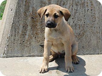 Labrador Retriever/German Shepherd Dog Mix Puppy for adoption in North Judson, Indiana - Shotput