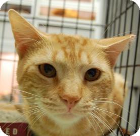 Domestic Shorthair Cat for adoption in Brooklyn, New York - Nino
