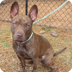 Pit Bull Terrier/Terrier (Unknown Type, Medium) Mix Dog for adoption in Athens, Georgia - Nellie