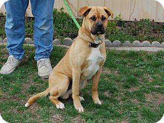 Mastiff Mix Dog for adoption in North Judson, Indiana - Bogey