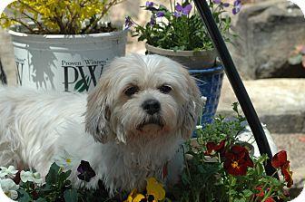 Lhasa Apso Mix Dog for adoption in Ft. Collins, Colorado - Georgia