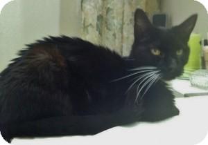 Domestic Shorthair Cat for adoption in Medford, Massachusetts - Cassius - Courtesy Post