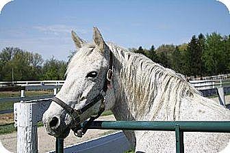 Percheron/Quarterhorse Mix for adoption in Woodstock, Illinois - Lady Godiva