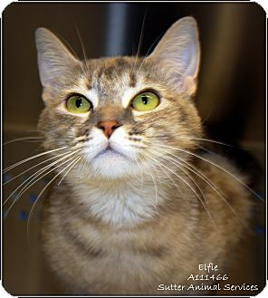 Domestic Shorthair Cat for adoption in Yuba City, California - Elfie