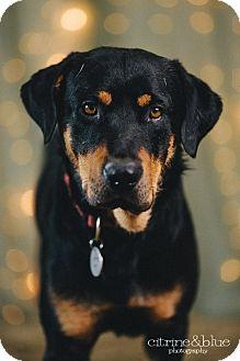 Rottweiler Dog for adoption in Portland, Oregon - Benny