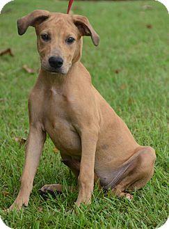 Labrador Retriever/Shepherd (Unknown Type) Mix Puppy for adoption in Groton, Massachusetts - Bambi