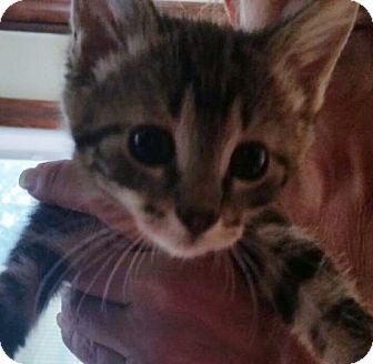 American Shorthair Kitten for adoption in Palatine, Illinois - Sweet Pea