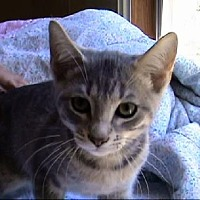 Domestic Shorthair Cat for adoption in Tyler, Texas - A-Kitten #2