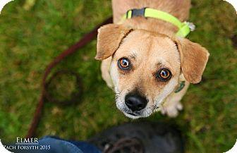 Beagle/Chihuahua Mix Puppy for adoption in Portland, Oregon - Elmer