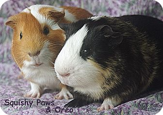 Guinea Pig for adoption in Santa Barbara, California - Squishy Paws and Oreo