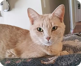 American Bobtail Cat for adoption in Marietta, Georgia - Crunch (bobtail)
