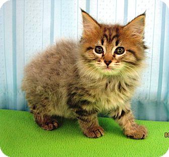 Domestic Longhair Kitten for adoption in Maynardville, Tennessee - Ruffles