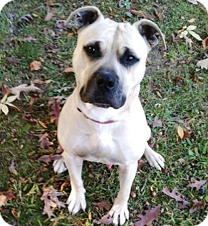 Boxer/Pit Bull Terrier Mix Dog for adoption in Dover, Tennessee - Chief