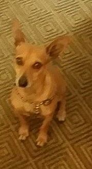 Chihuahua Mix Dog for adoption in Lithia, Florida - NACHO-15 Lithia Fl