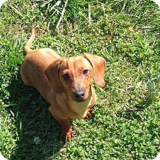 Dachshund Mix Dog for adoption in Huntsville, Alabama - Arlo