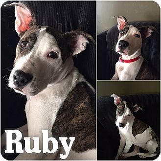 Hound (Unknown Type)/American Bulldog Mix Puppy for adoption in St Clair Shores, Michigan - Ruby