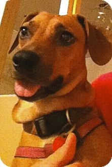 Dachshund/Beagle Mix Dog for adoption in Andalusia, Pennsylvania - Lily