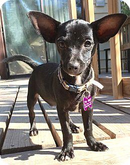 Chihuahua Mix Puppy for adoption in Manhattan, Kansas - Ernie