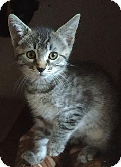 Domestic Shorthair Kitten for adoption in Sacramento, California - Sasha