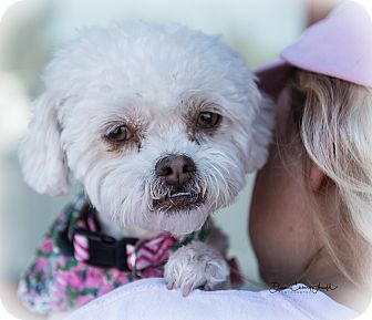 Poodle (Miniature) Mix Dog for adoption in San Marcos, California - Lola
