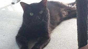 Domestic Shorthair Cat for adoption in St. Cloud, Florida - Shadow Man
