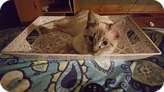 Siamese Kitten for adoption in Chesterfield, Virginia - Simon