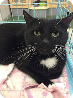 Domestic Mediumhair Cat for adoption in Mansfield, Texas - Becky