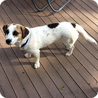 Corgi/Dachshund Mix Dog for adoption in Minneapolis, Minnesota - Sly