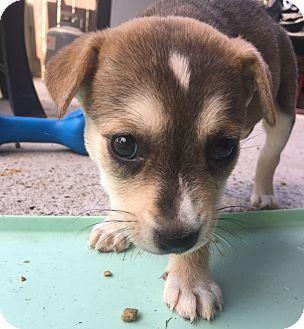 Terrier (Unknown Type, Medium) Mix Puppy for adoption in Hartford, Connecticut - Hermione