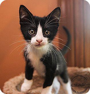 Domestic Shorthair Kitten for adoption in Charlotte, North Carolina - A..  Julian