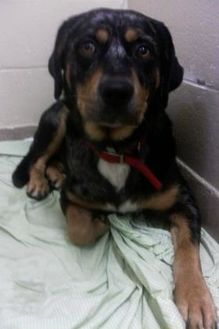 Australian Shepherd/Rottweiler Mix Dog for adoption in Cooperstown, New York - Chief