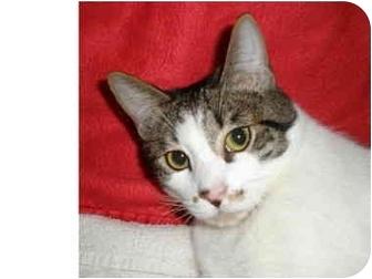 Domestic Shorthair Cat for adoption in Los Angeles, California - Ocean
