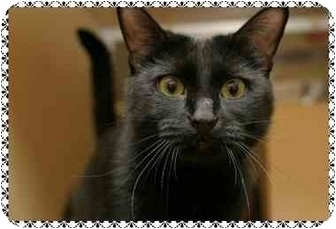 Domestic Shorthair Cat for adoption in Sterling Heights, Michigan - Jasmine - ADOPTED!