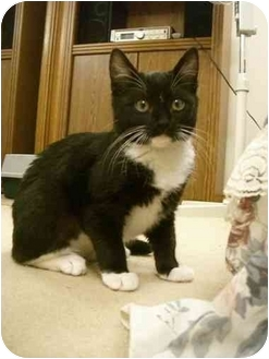 Domestic Shorthair Kitten for adoption in Davis, California - Maron
