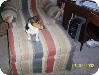 Jack Russell Terrier Dog for adoption in Liberty Township, Ohio - Oreo Needs a Temporary Home