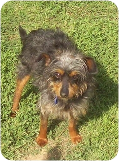 Yorkie, Yorkshire Terrier/Terrier (Unknown Type, Small) Mix Dog for adoption in Sacramento, California - Lenny