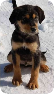 Labrador Retriever/Poodle (Standard) Mix Puppy for adoption in Portland, Maine - Rusty (AE)